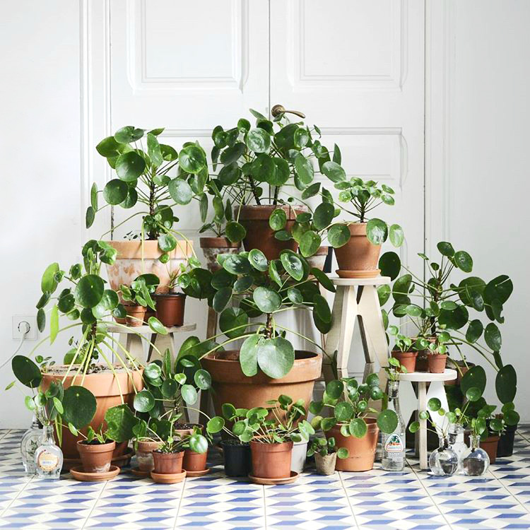 Mod and Mint: The Rise of the Pilea Peperomioides. Photo @nininoes