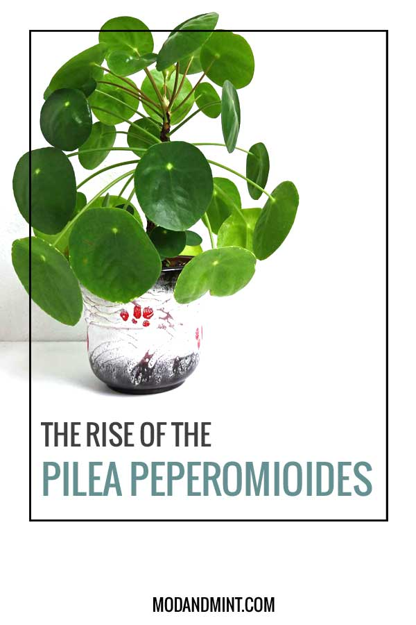 The Rise of the Pilea Pepeomioides