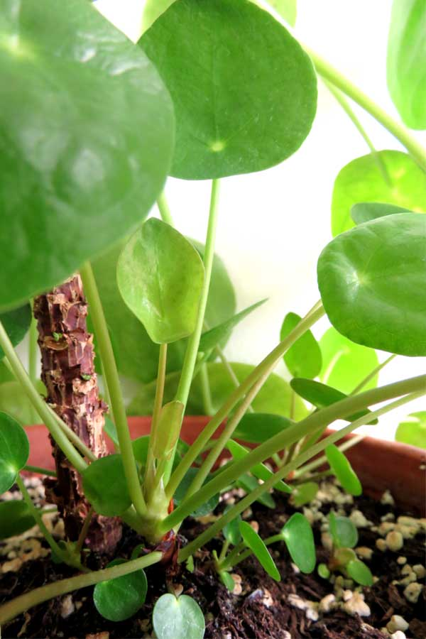 pilea peperomioides plant babies