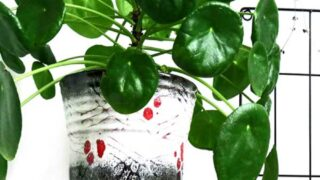 The Rise of the Pilea Peperomioides.