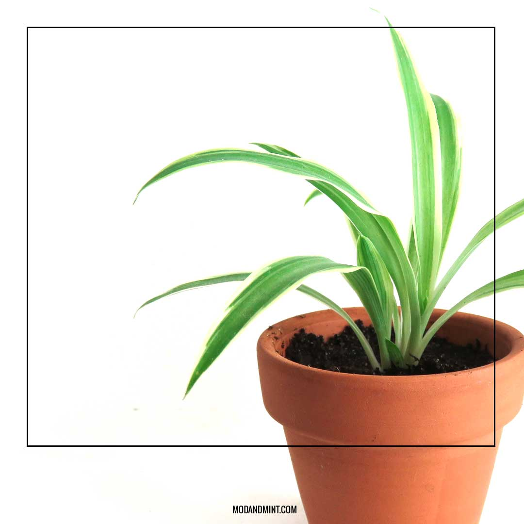 how to propagate spiderplants