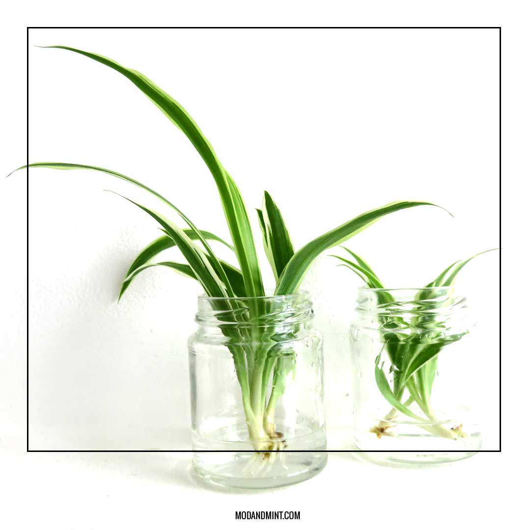 How to propagate spider plant babies in water