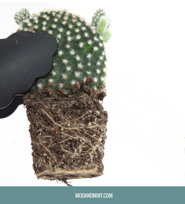 how-to-repot-root-bound-cactus