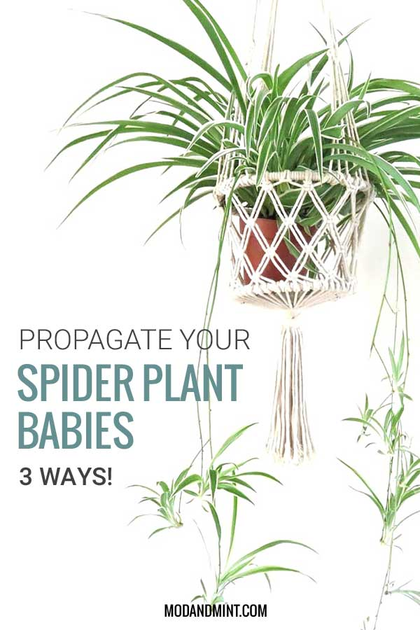 3 ways to propagate your spider plant babies