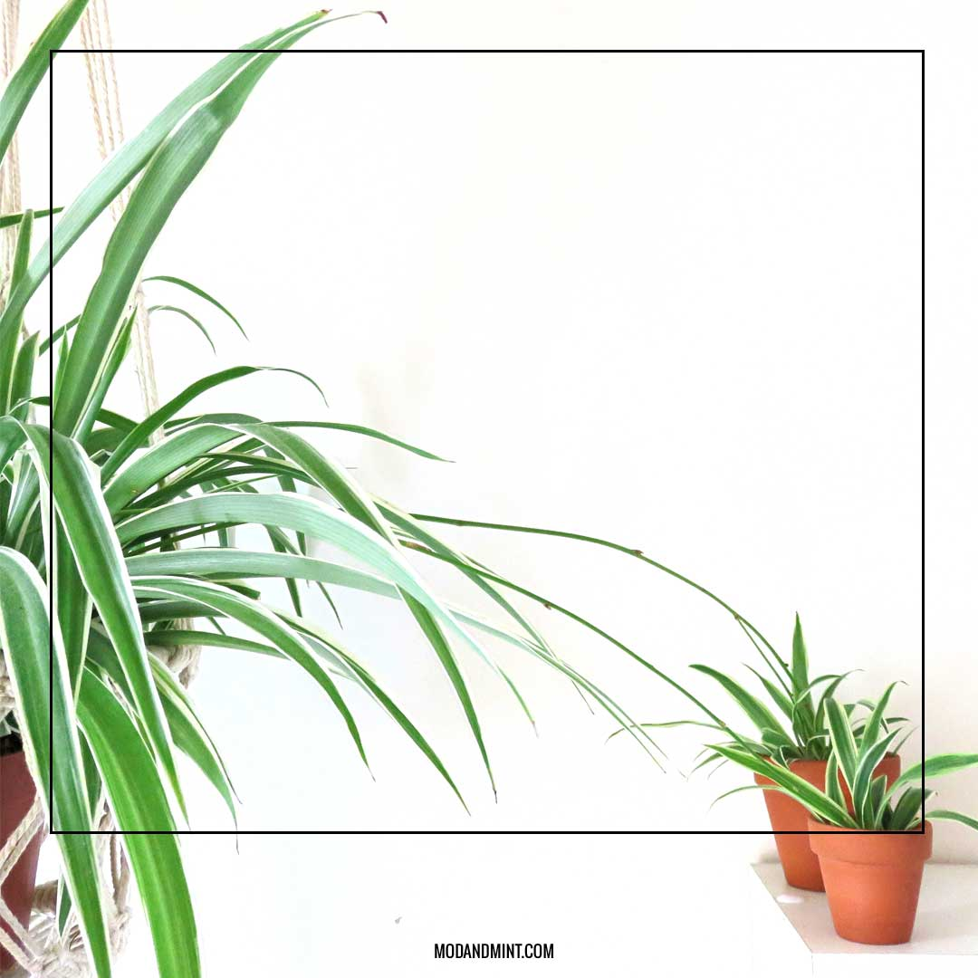 spider plant propagation 3 ways