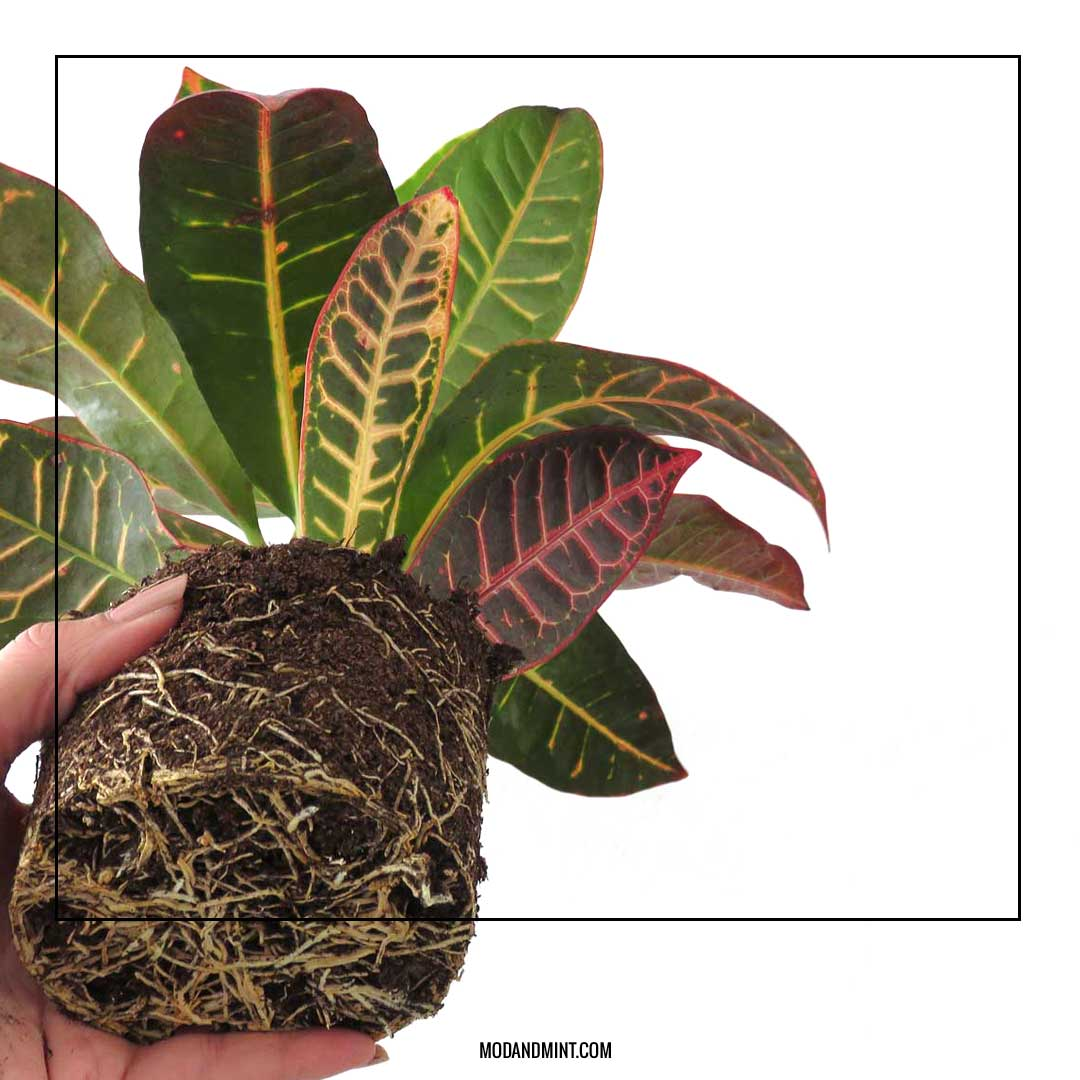 Repotting rootbound croton plant