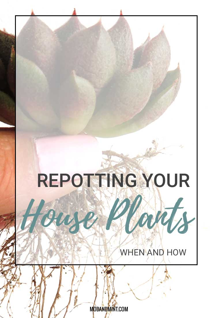 Repotting your House Plants. When and How. Echeveria Roots.