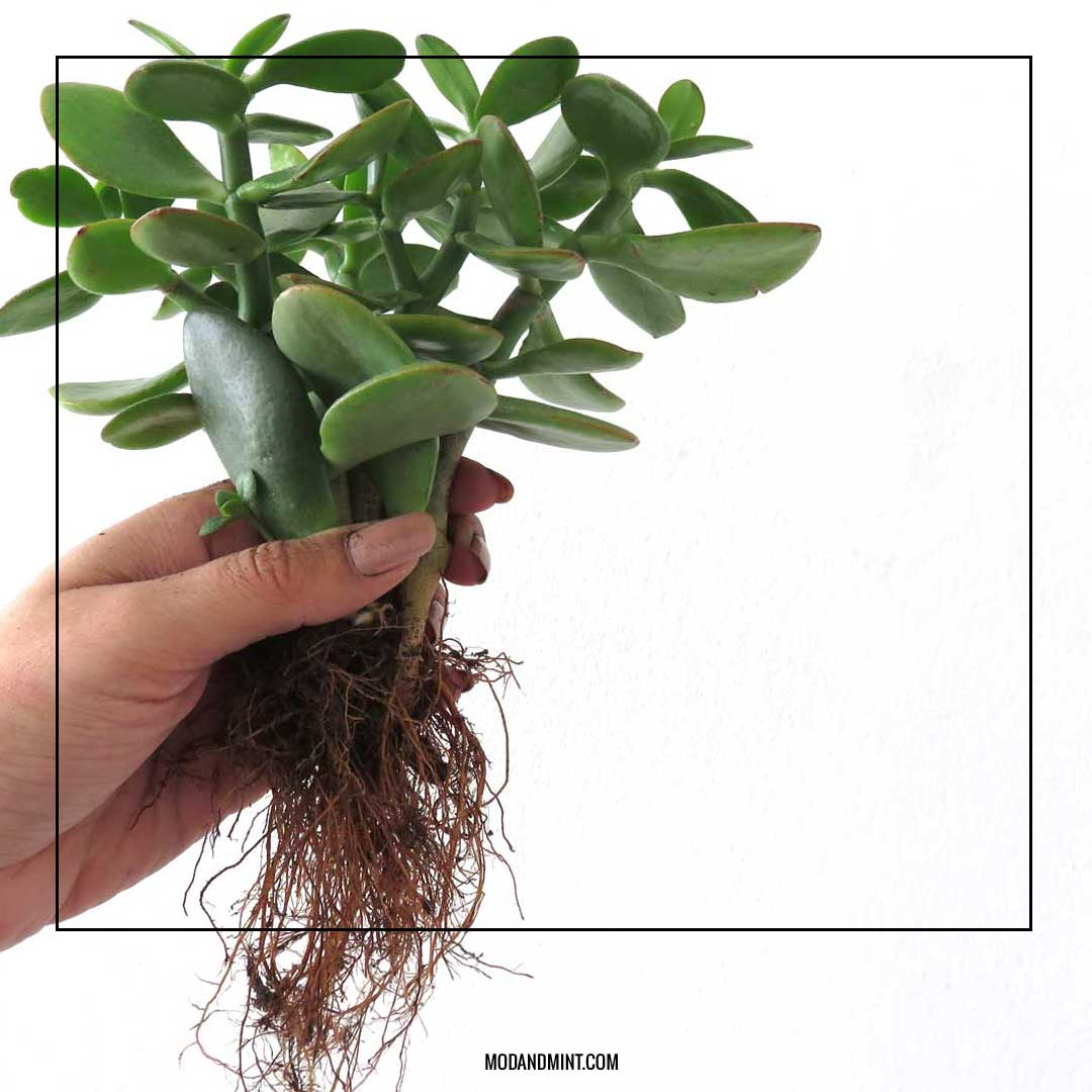 When And How To Repot Houseplants