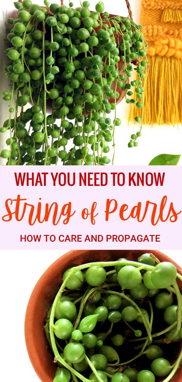 What you need to know to care for and propagate a String of Pearls plant