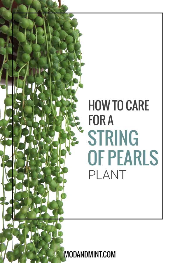 how to care for a hanging string of pearls plant