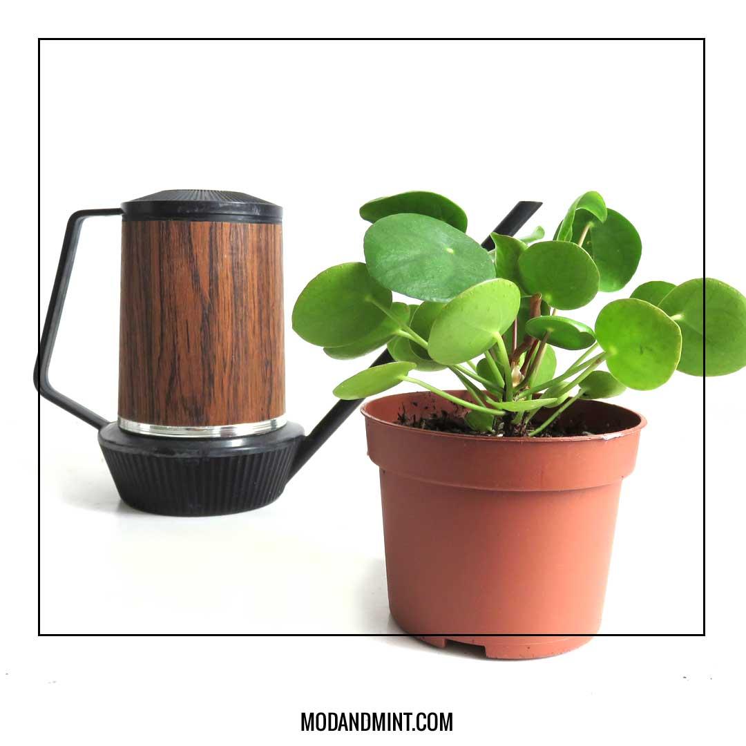 watering-pilea-plants