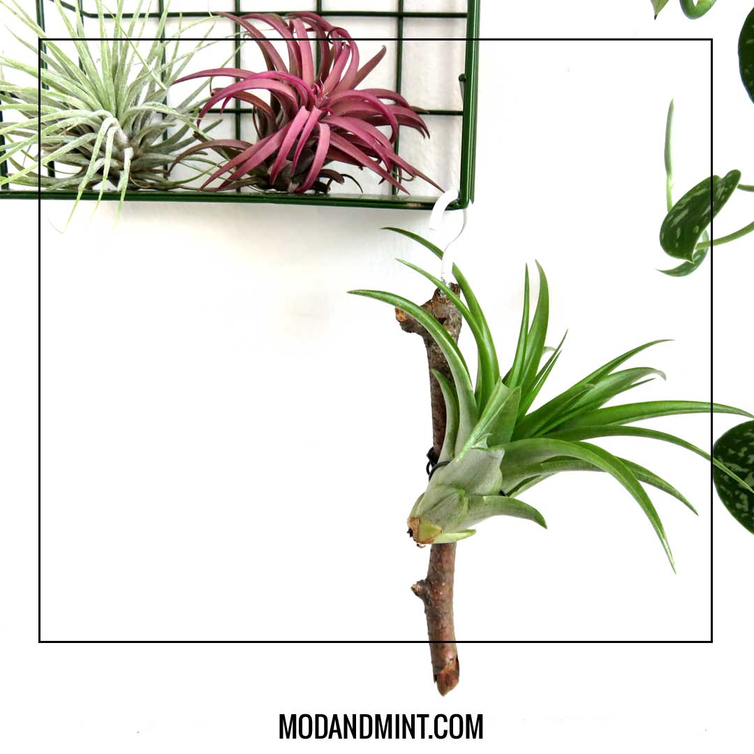 DIY hanging air plant stick holder