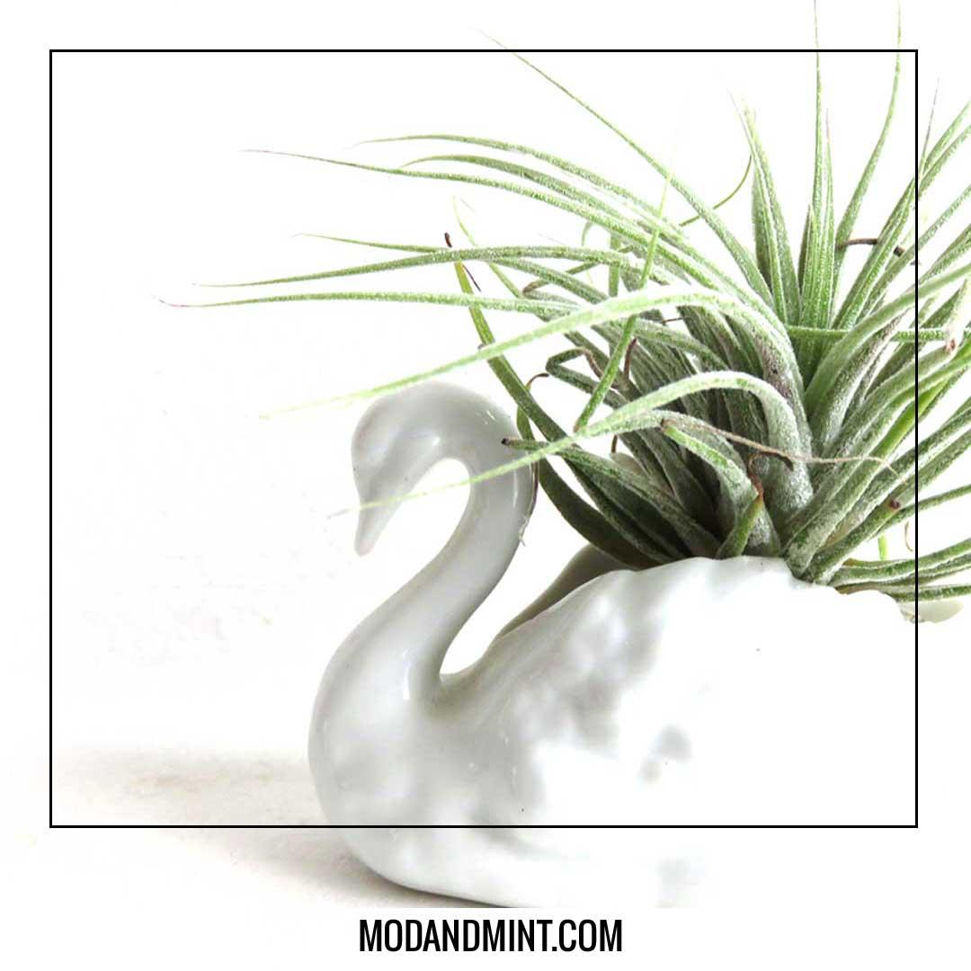 tillandsia air plant in swan planter