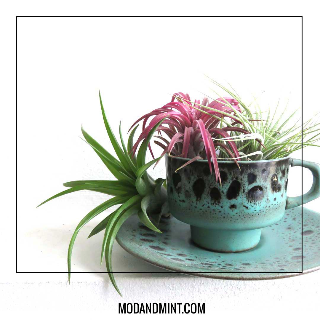 tillandsia airplants in vintage cup