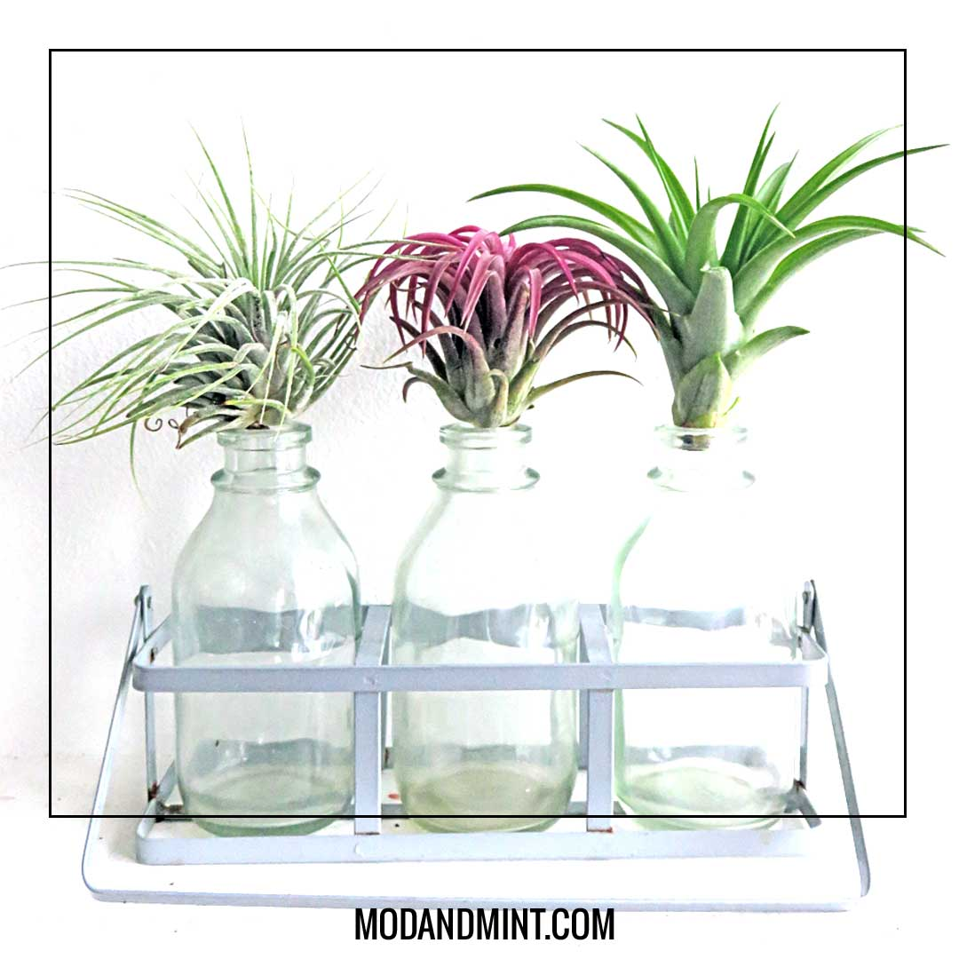 air plants on glass bottles