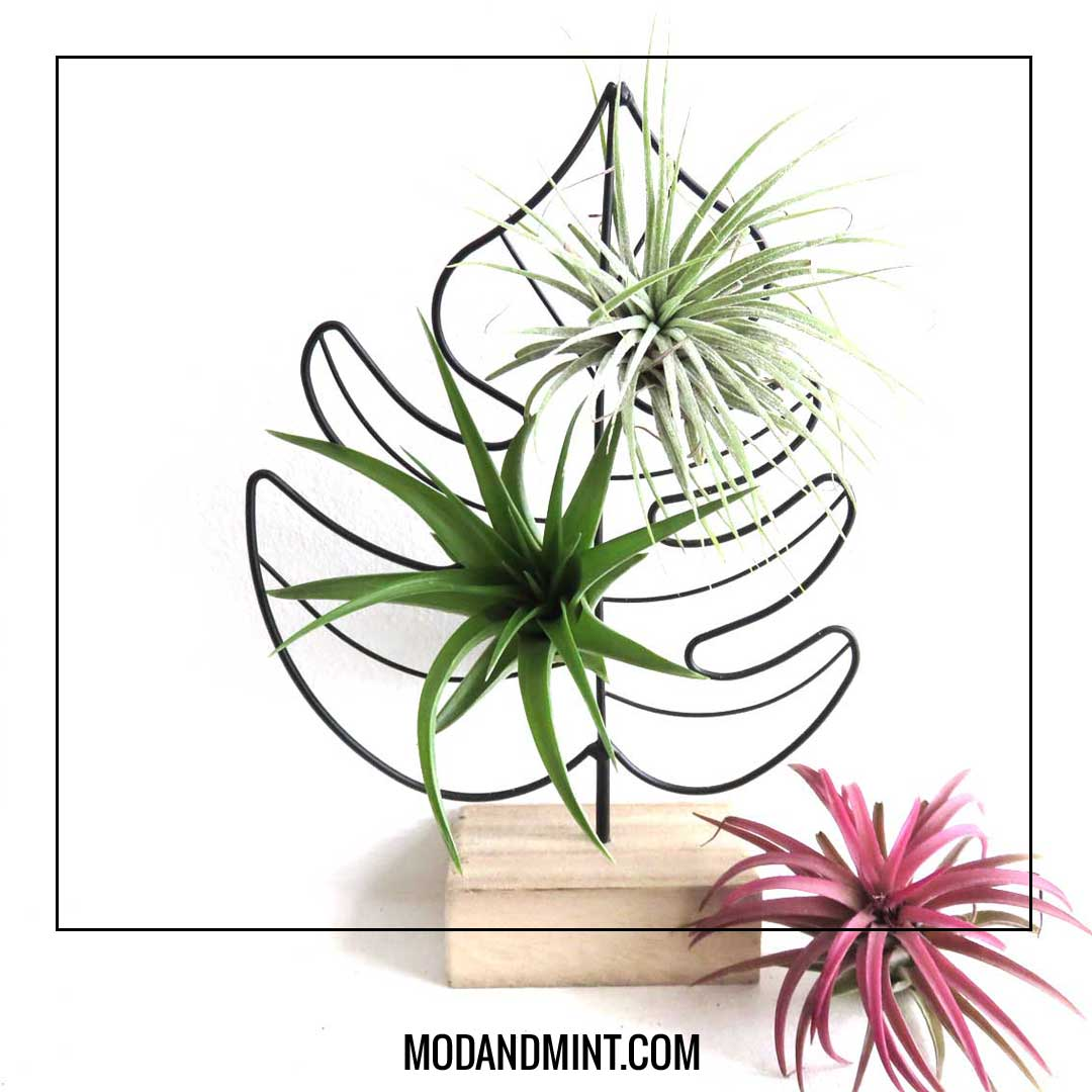 airplants in wire monstera leaf