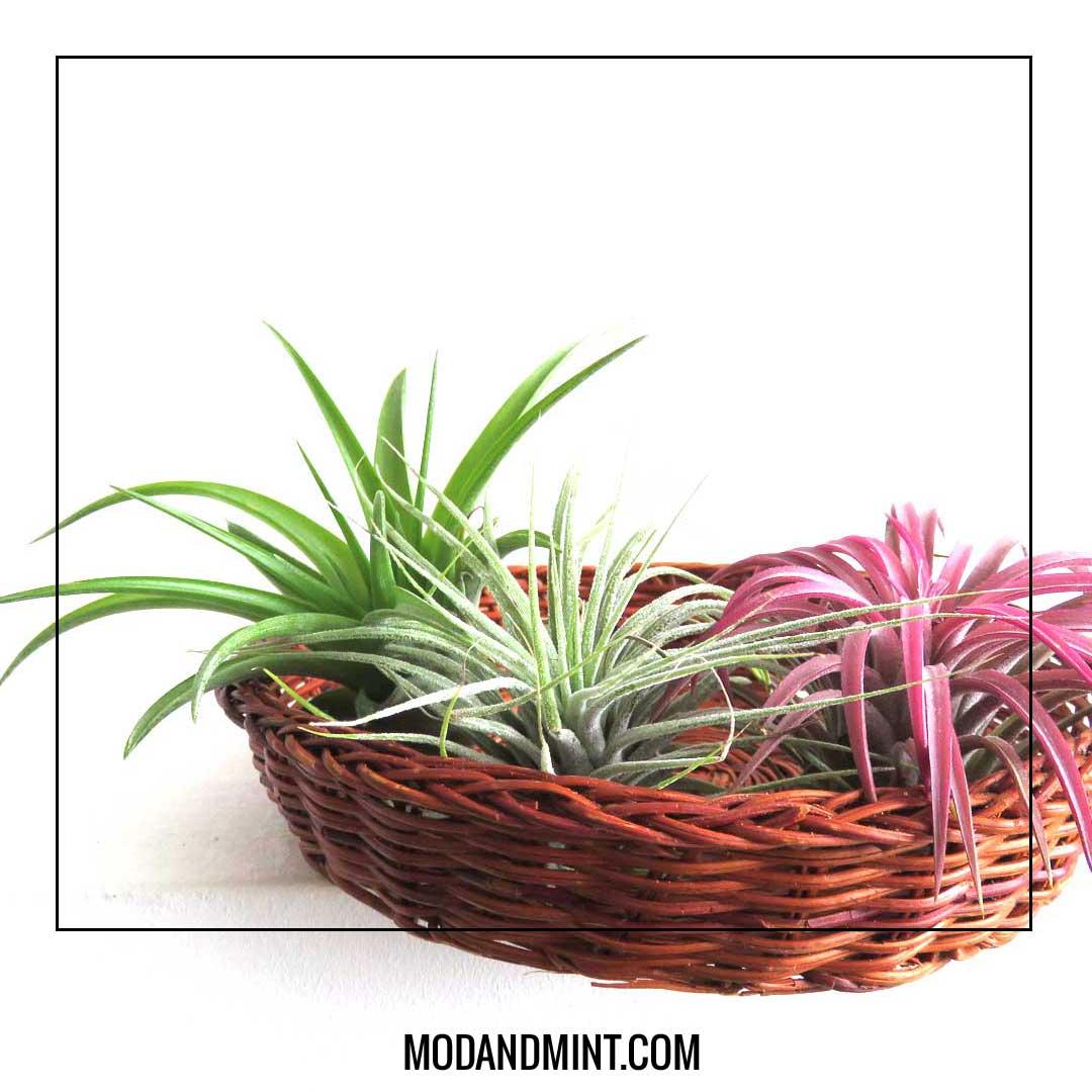 air plants displayed in wicker basket