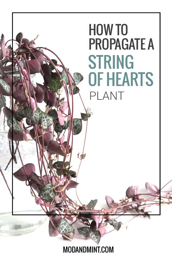 how to propagate string of hearts plant