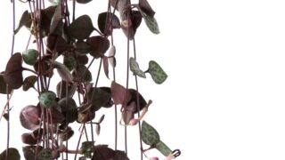 How to Care for an indoor String of Hearts Plant