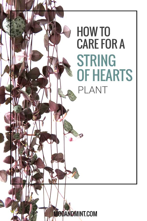 how to care for a string of hearts plant