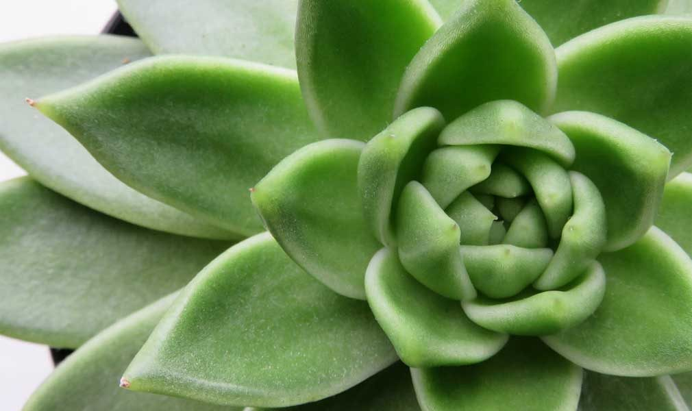 echeveria succulent care