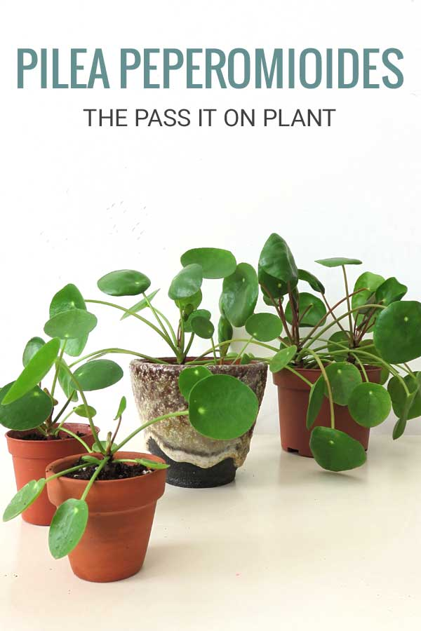 Pilea Peperomioides the Pass it On Plant