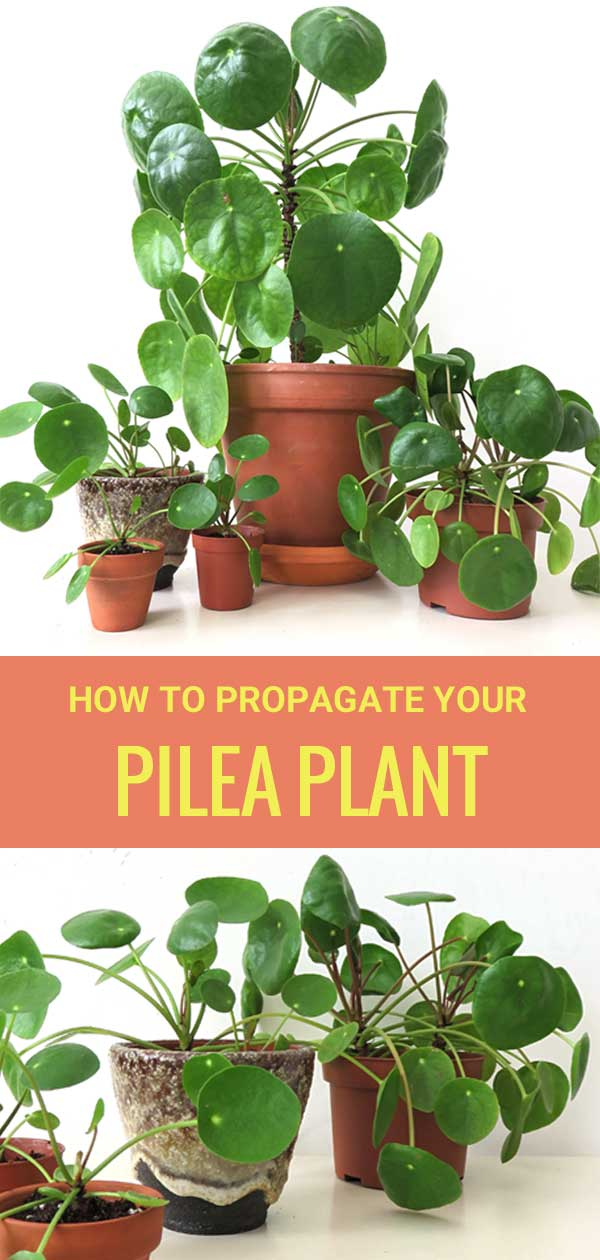 How to propagate the Pilea Peperomioides Plant