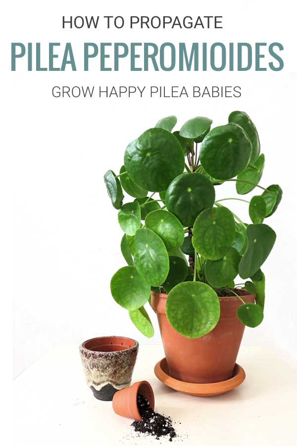 How to propagate Pilea Peperomioides Plant