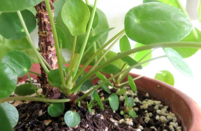 Propagate Pilea Plants