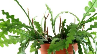 How to Grow and Care for a Fishbone Cactus | Epiphyllum anguliger