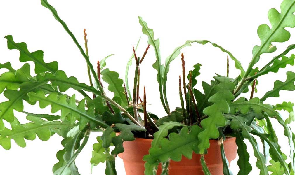 Fishbone Cactus  in 4 POT Epiphyllum Anguliger zig zag cactus