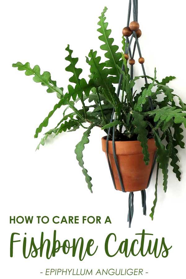 hanging fishbone cactus epiphullum anguliger plant