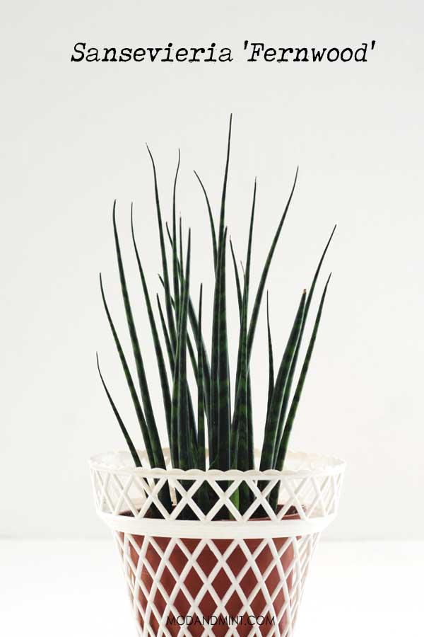 Sansevieria Fernwood plant in white planter