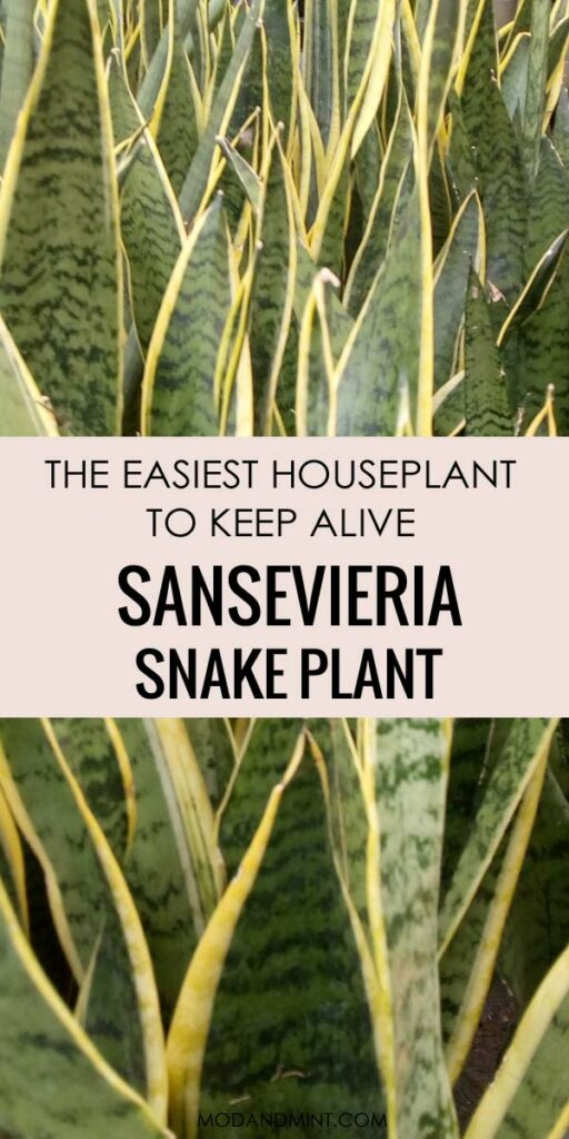 Group of large Sansevieria Snake Plants the easiest houseplants to care for