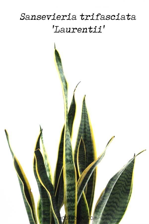 Sansevieria trifasciata Laurentii leaves closeup