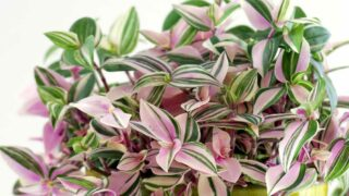 How to care for an indoor Wandering Jew plant - Tradescantia