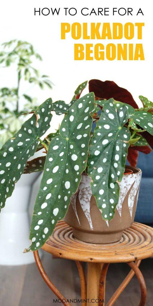 polkadot begonia maculata houseplant care guide