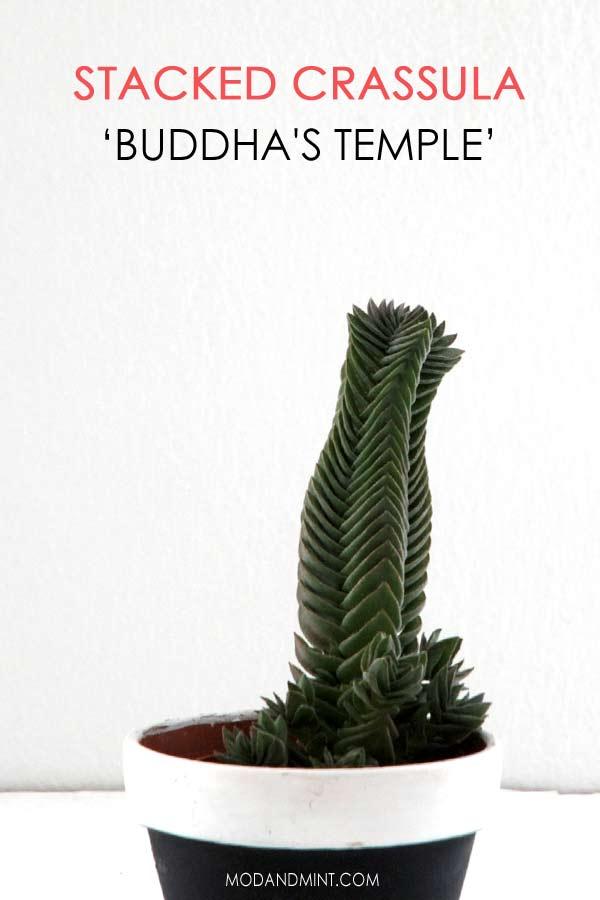 Crassula - Buddhas Temple succulent