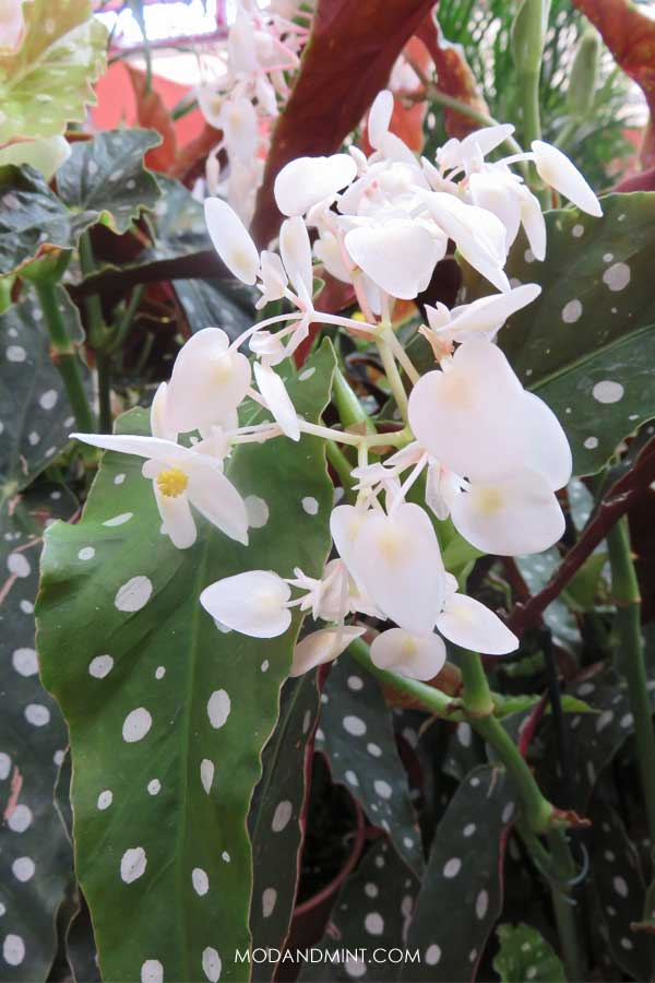 Begonia Maculata How To Care For A Polkadot Plant