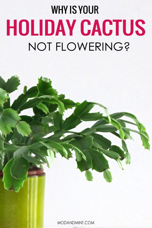 Green Thanksgiving Cactus plant. Why is your Holiday Cactus not flowering?