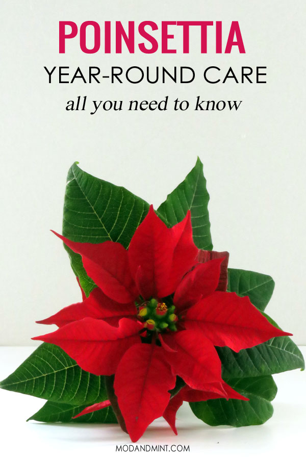 Red Poinsettia Plant. Year-round care, all you need to know.