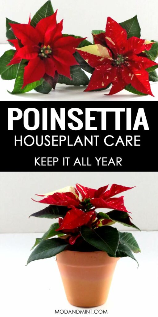 Poinsettia Houseplants. How to care for your plant and keep it all year.
