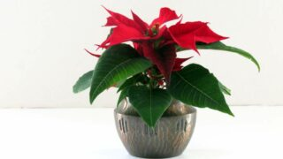 Poinsettia Christmas Plant Care Tips