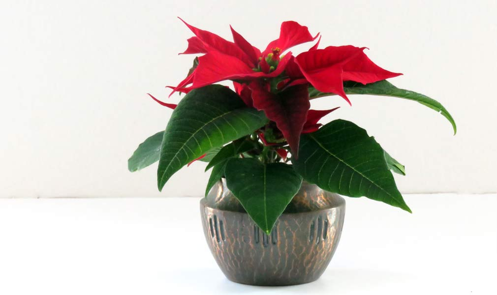 Poinsettia Christmas Plant Care Tips Month To Month Care Schedule