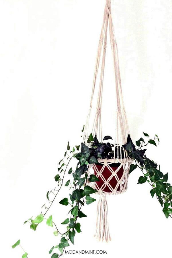 English Ivy hanging in macrame plant hanger.