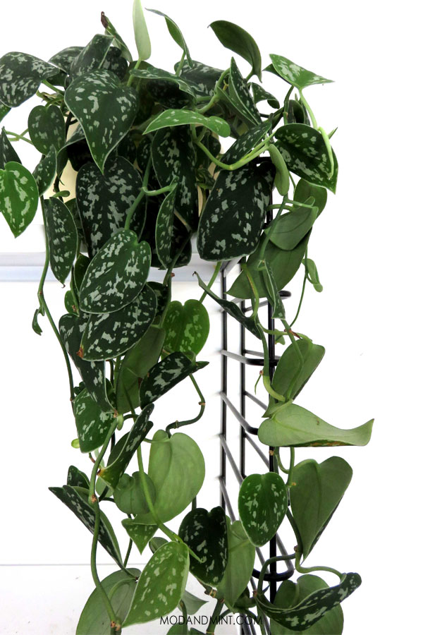 Satin Pothos hanging down from shelf.