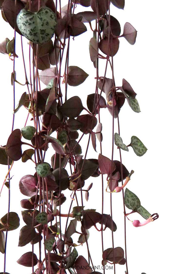 Close up of String of Hearts plant hanging.