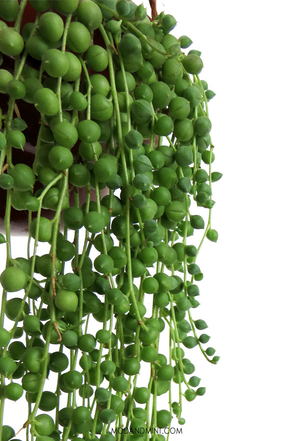 Hanging String of Pearls plant.