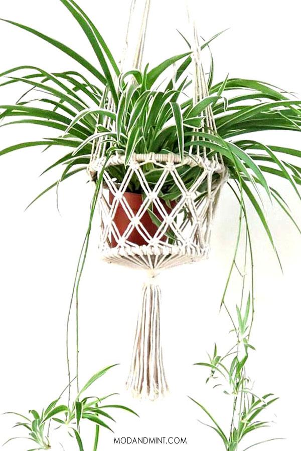 Spider plant hanging in macrame basket.