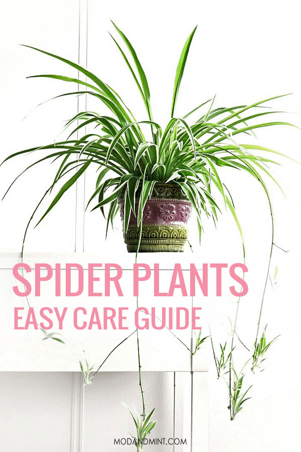 Spider Plant with baby plantlets. Easy Care Guide